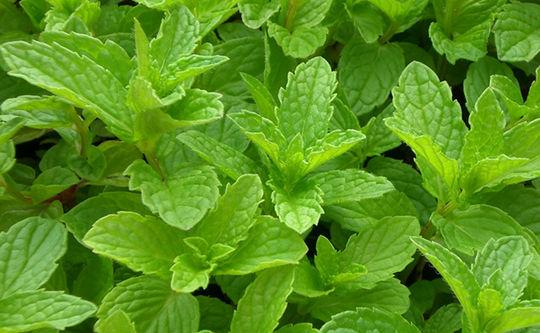 8 plantas que repelen a los mosquitos y otros insectos for Planta decorativa con propiedades medicinales crucigrama